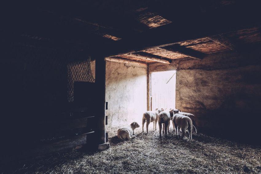 Day Door Going Towards The Light Livestock Shadows Sheep Sun Shining Bright Wood