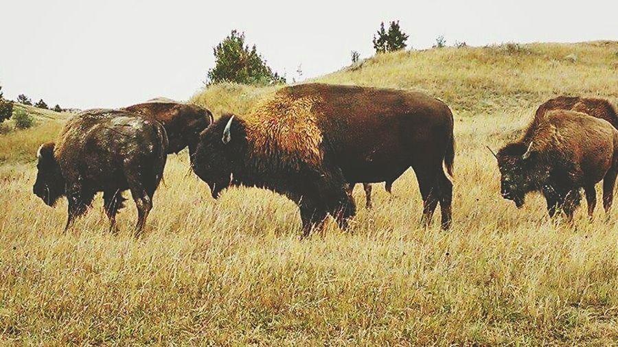 American Bison Theodore Roosevelt National Park Badlands North Dakota
