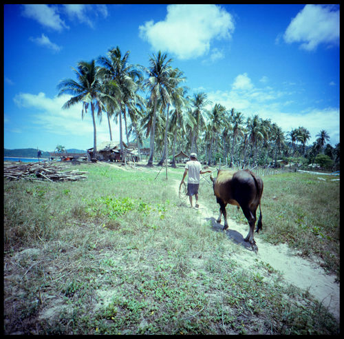 Walking the Bull in Palawan ASIA Analogue Photography Beach Life Blue Sky Island Bull Catamaran Catamaran Island Dream Destination El Nido Isolated Island Nacpan Beach Philippines Travel Boat On Beach Dramatic Island Fantasy Island Medium Format Ocean Outdoors Palawan Secret Island Slide Toothpic Palms White Beach