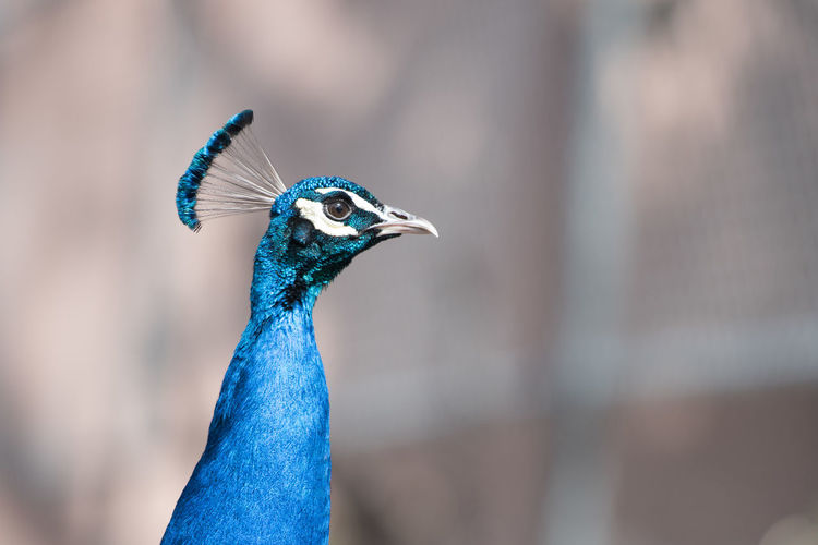 Beak Bird Blue Close-up Focus On Foreground Peacock Zoology