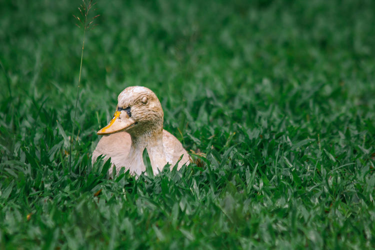 Duck on a field