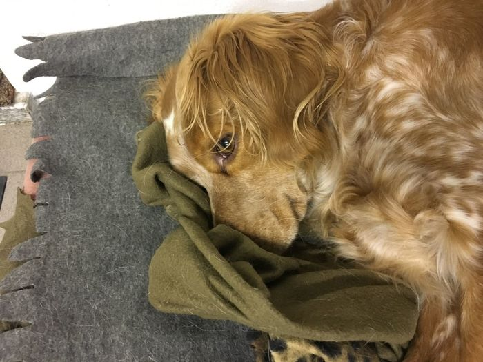 Whisky Epagneul Breton Dog