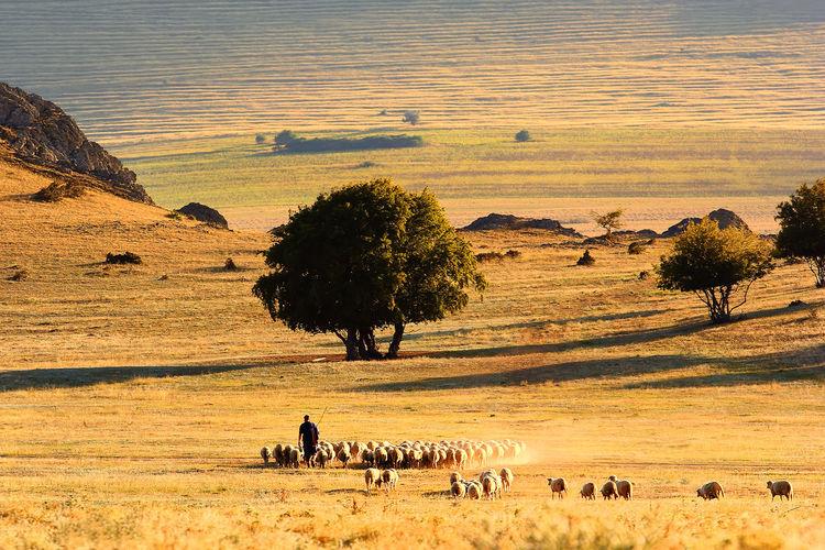 Man herding flock of sheep on field