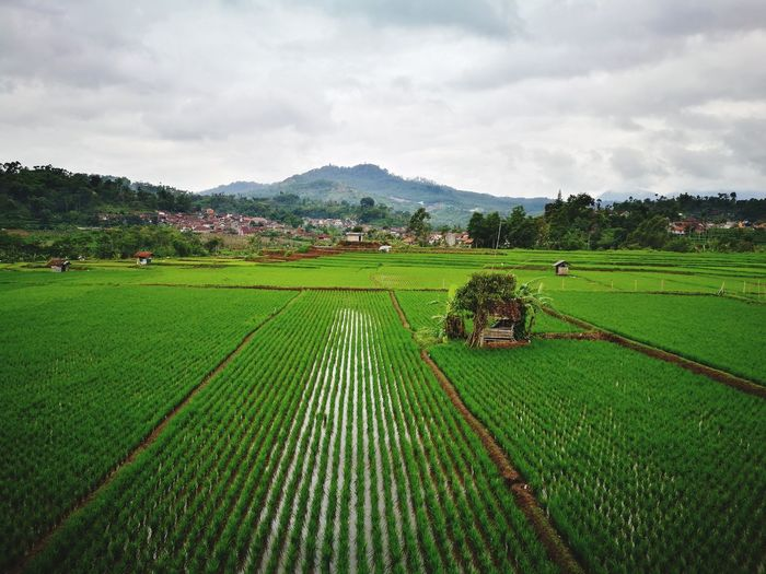 padi field bandung Bandung, West Java Agriculture Field Beauty In Nature Rural Scene Nature Growth Rice Paddy No People Sky Food An Eye For Travel