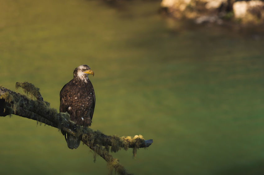 Juvenile bald eagle Perched by water Bald Eagle Canada Eagle Great Bear Rainforest Juvenile Bald Eagle North America North American Bald Eagle Pacific Coast Pacific Ocean Perched Bird Raptor Sunset Vancouver Island Wildlife Wildlife & Nature