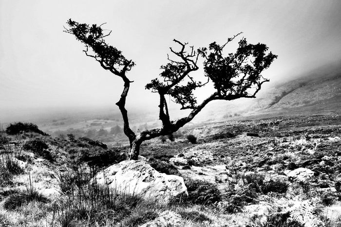 Fairy Tree Hawthorn Tree Black And White Black & White Landscape Landscapes Ireland Dingle Loch Cruite Remote Place Outdoors Hiking Lone Tree Windswept Tree Monochrome Photography Miles Away