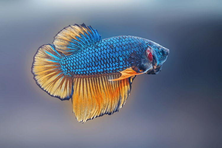 Siamese fighting fish,betta splendens,blue fish, blurred background, halfmoon betta.