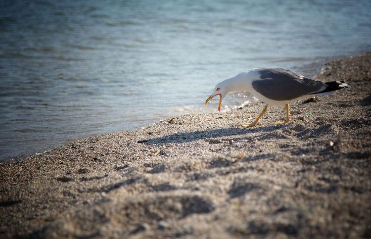 Animal Animal Themes Animal Wildlife Animals In The Wild Beach Bird Day Land Nature No People One Animal Outdoors Sand Sea Seagull Selective Focus Sunlight Vertebrate Water