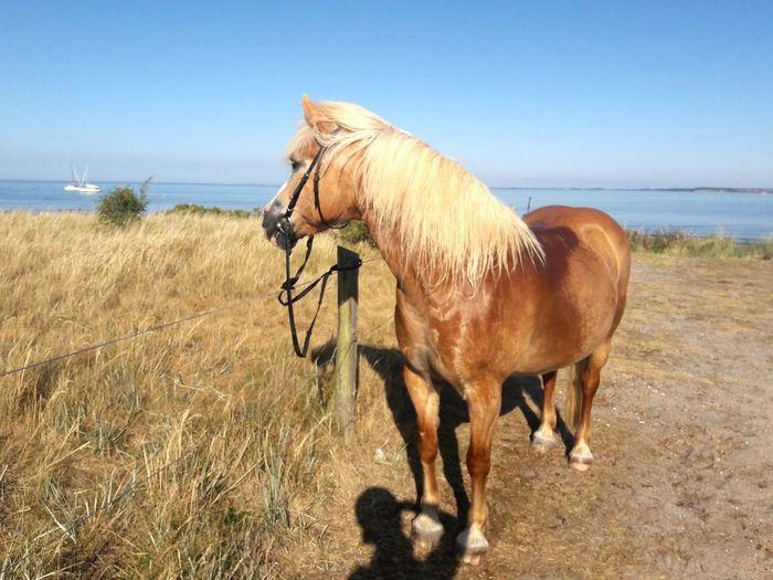 Haflinger | EyeEm Selects Sand Dune Sea Beach Sand Standing Full Length Clear Sky Horse Sky Horizon Over Water Working Animal