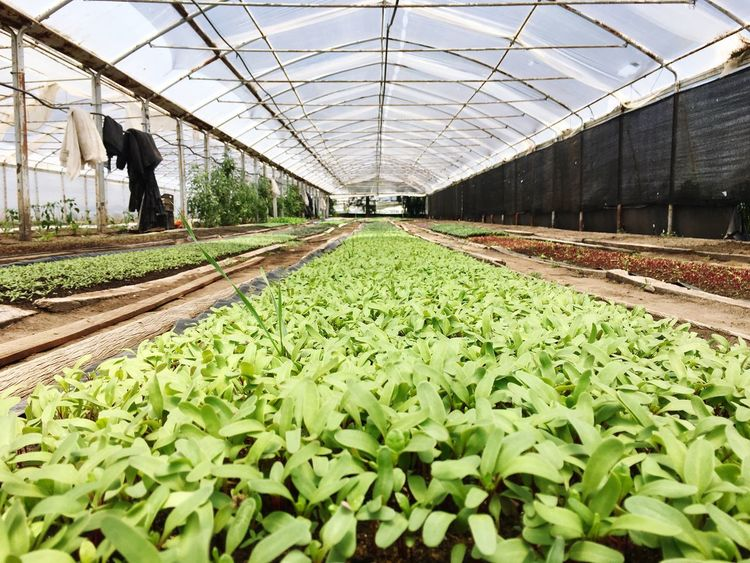 Agriculture Greenhouse Growth Plant Green Color Plantation Nature Plant Nursery Indoors  Day No People Freshness Ecology Ecological Argentina