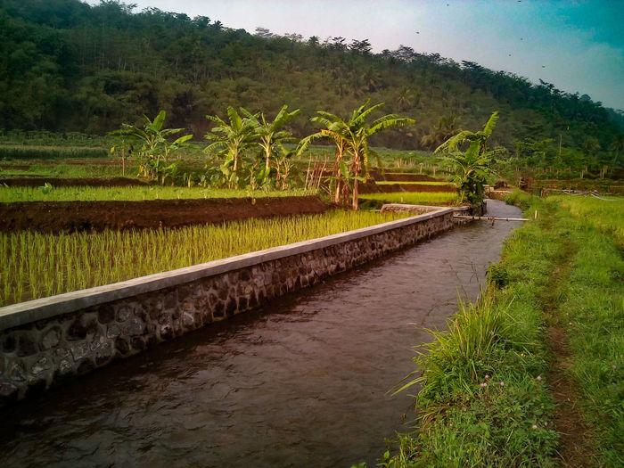 Irrigation Rice