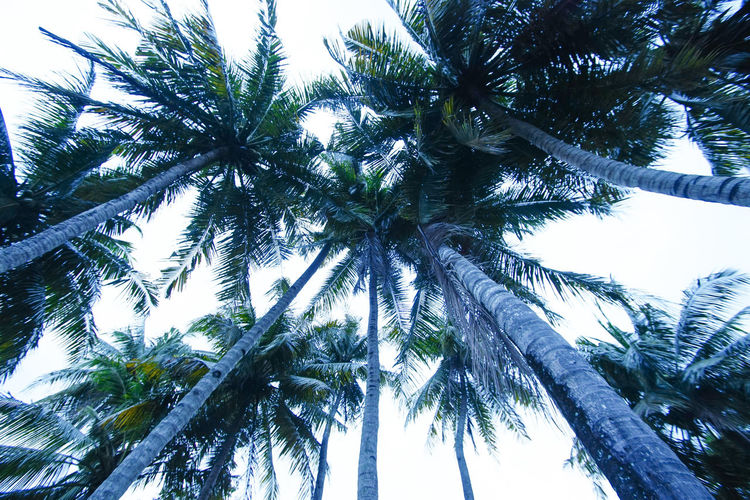 trees Tree Branch Tree Area Forest Tree Trunk Clear Sky Pine Tree Pinaceae Sky Bamboo Grove Palm Leaf Pine Woodland Bamboo - Plant Treetop Kyoto Coniferous Tree Spruce Tree Tree Canopy  Directly Below Evergreen Tree Panda - Animal Coconut Palm Tree Giant Panda Date Palm Tree Fir Tree Palm Tree Grove Bamboo