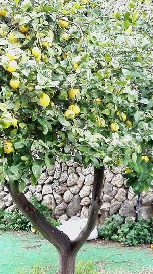 Growth Nature Yellow Leaf Green Color Plant Fruit Tree Lemon Lemontree Healthy Food Rubble WallsSPAIN Holiday Lasydays Branch Freshness Beauty In Nature