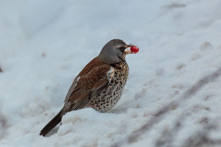 Close-up of a bird perching on snow