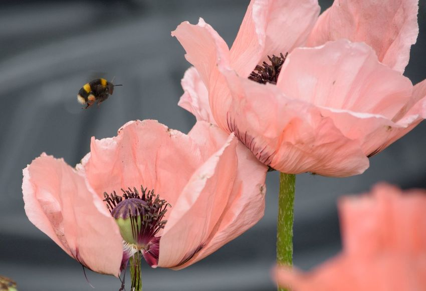 Bumblebee Insect Poppy Poppy Flowers Pink Color Flower Plant Nature Beauty In Nature Outdoors No People Flower Head Close-up Fragility One Insect Wings Petal Pollination Hovering Buzzing Nature Summertime Serenity Day Focus On Foreground
