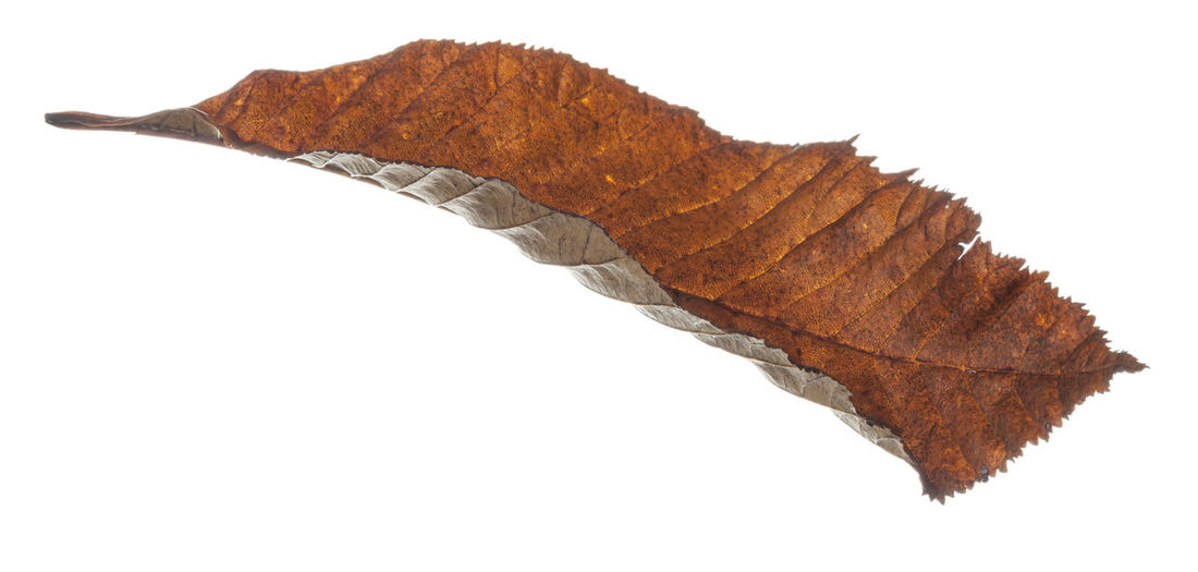 Autumn leaves isolated against a white background. Autumn Collection Autumn Colors Autumn Leaves Fall Colors Nature Autumn Brown Close-up Cut Out Cut Out On White Dry Fall Leaves Isolated On White Leaf Leaves Leaves_collection Nature Nature_collection Studio Shot White Background White Backround
