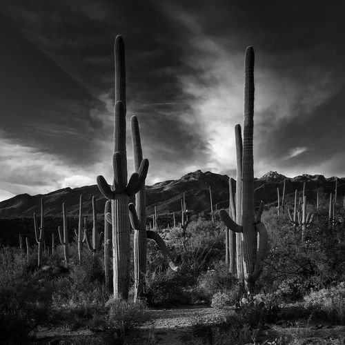 Saguaro Cactuses Growing On Field By Mountains Against Sky