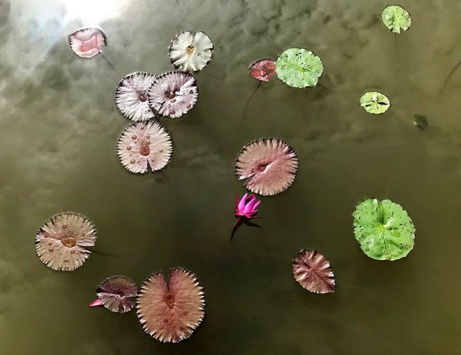 Lily Flowers - Kenilworth Gardens Pond Flower Plant Flowering Plant High Angle View Nature Beauty In Nature 10 Pink Color No People Floating On Water Green Color Flower Head Outdoors Marine Growth 10