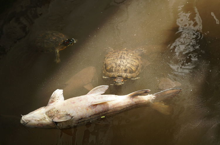 Death Ecosystem  Life Life After Death LifeLess Animal Animal Themes Big Fish Got Eaten Contribution Dead Fısh Don't Waste Your Life! Ecology Fish Floating Food Chain Food Source Nature Survival Survivor Turtle Turtle Eating Fish Water