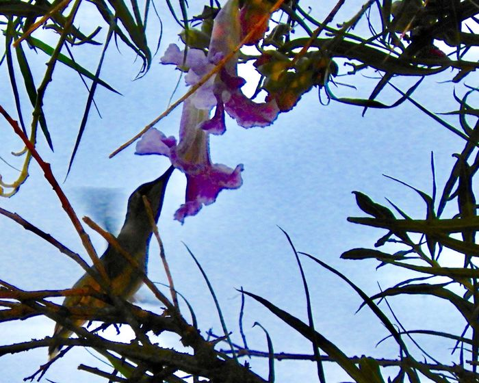 Hummingbird drinking from a willow Willow Flower Hummingbirdphotography Plant Tree Branch Low Angle View Beauty In Nature Nature Sky Outdoors Animals In The Wild Silhouette No People Scenics - Nature