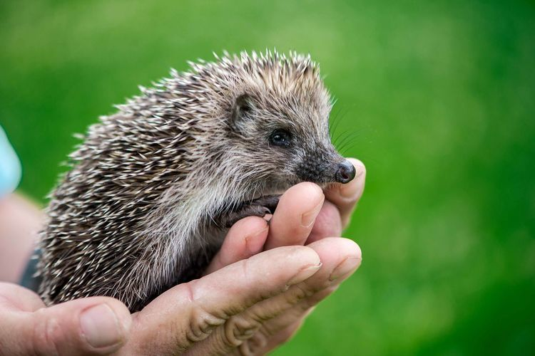 Hedgehog, wild, native, European hedgehog. Scientific name: Erinaceus europaeus. Hedgehog Hedgehogs Close Up Man Hands Holding Wild Wildlife One Animal Animal Little Pet Cute Children Baby Brown Feet Kid Mammal Animals In The Wild Young Animal Animal Wildlife Close-up Needle Needles Porcupine Prickly Pygmy Sharp Small Spine Background Colors Color Colours Image Horizontal Copy Space Lovely Macro Ecology Gauja National Park Latvia