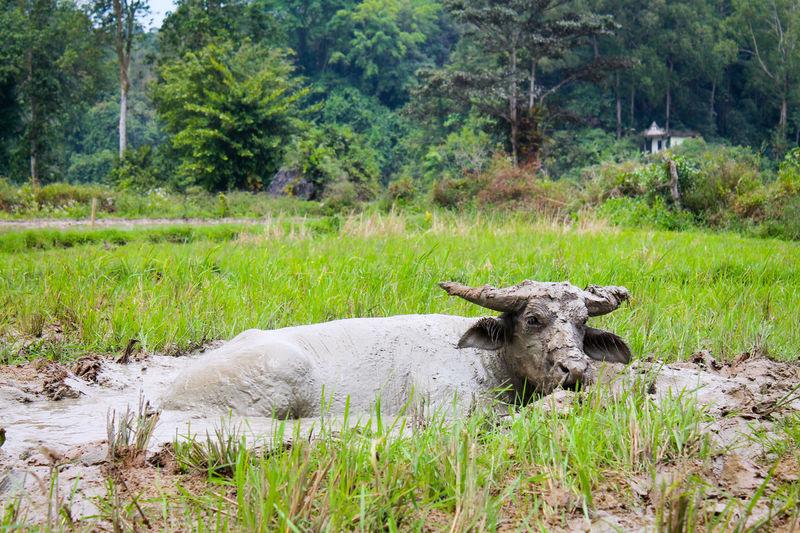 Sacred buffalo in sulawesi