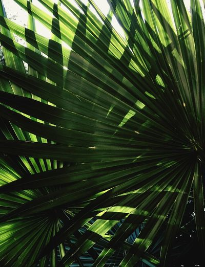 Shade... Palm Leaf Palm Tree Green Color Tree Nature Frond Growth Low Angle View Outdoors No People Leaf Day Beauty In Nature Backgrounds Close-up Sky Freshness