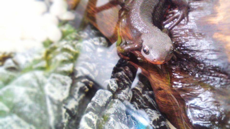 アカハライモリ 両生類 Terrarium Bellied Newt Amphibians Japanese Fire Belly Newt