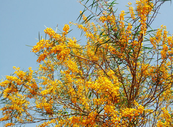 Abundance Beauty In Nature Blossom Blue Branch Change Close-up Day Flower Fragility Growth In Bloom Low Angle View Mimosa Mimose Nature Orange Color Outdoors Scenics Season  Sky Tranquil Scene Tranquility Tree Yellow