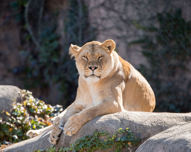 ©Amy Boyle Photography Zoo Animal Themes Animal Wildlife Animals In The Wild Day Lioness Mammal No People One Animal Outdoors Rock - Object