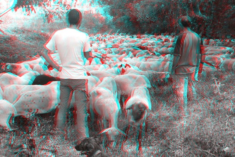 3D 3D Art 3D Photo Visualize With Anaglyph 3D Glasses Day Flock Of Sheep Nature Outdoors