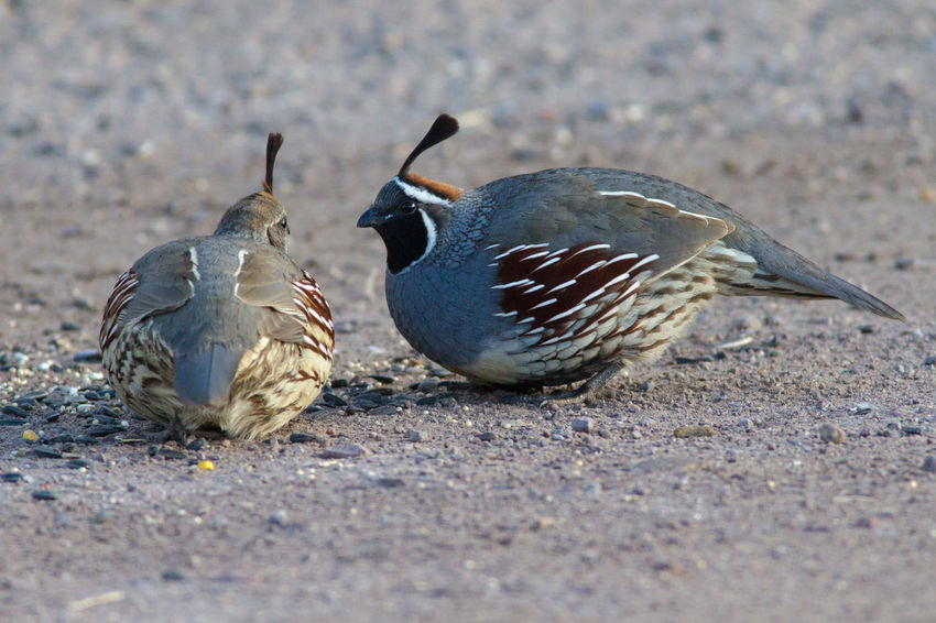 Animal Themes Animal Wildlife Animals In The Wild Beauty In Nature Bird Bird Photography Callipepla Gambelii Feather  Gambel's Quail Nature Nature Photography No People Quail Wildlife & Nature Wildlife Photography