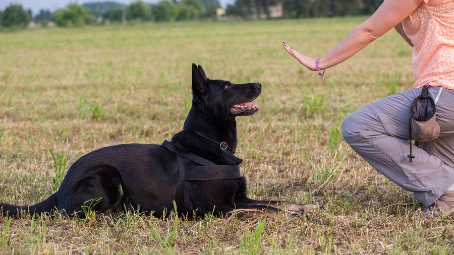 Low Section Of Woman Training Black German Shepherd On Field