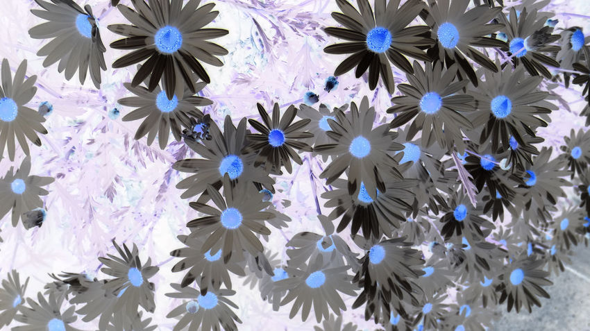 What happens if we change colors? Colors Nature Abstract Backgrounds Beauty In Nature Blue Close-up Flower Flower Head Flowerbed Flowering Plant Flowers Fragility Freshness Full Frame High Angle View Inflorescence Nature No People Outdoors Petal Plant Purple Vulnerability  White Color