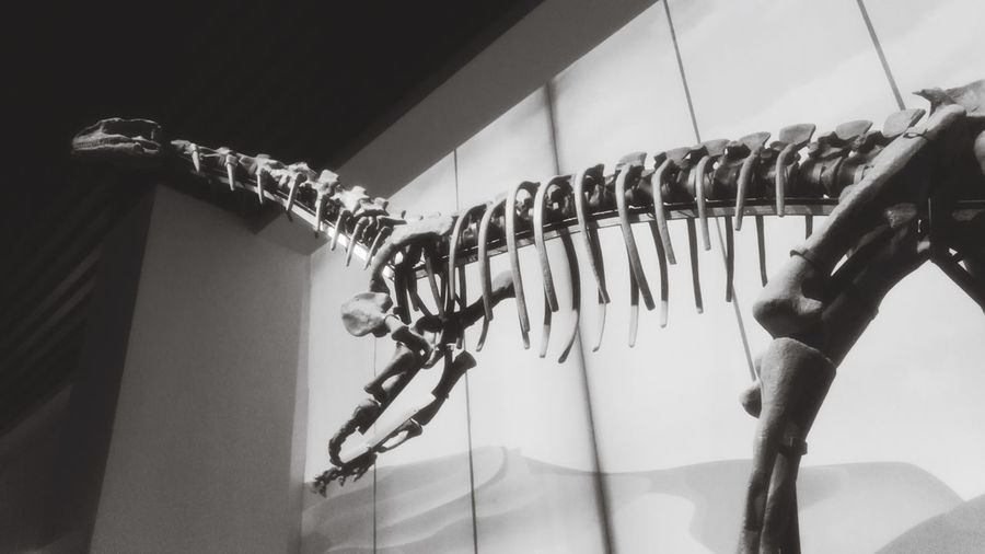 Dinosaur Skeleton Fossils Hanging No People Indoors  Wall - Building Feature In A Row Low Angle View Metal Close-up Ceiling