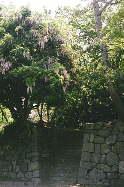 Flowers 藤の花 豊橋公園 石垣 吉田城 Stone Wall Japan