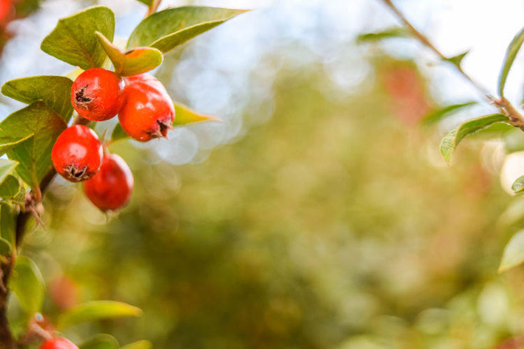 Beauty In Nature Bokeh Close-up Day Focus On Foreground Freshness Fruit Growth Horizontal Nature Outdoors Plant Red Rose Hip Rowanberries Rowanberry Tree
