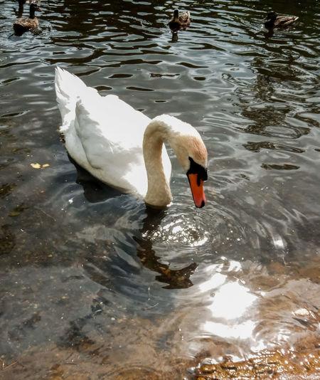Swan Swan Bird