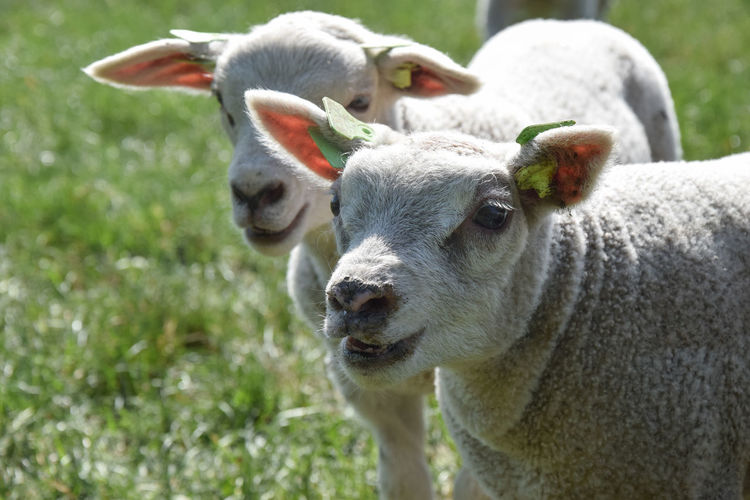 Close-up of sheep in a field