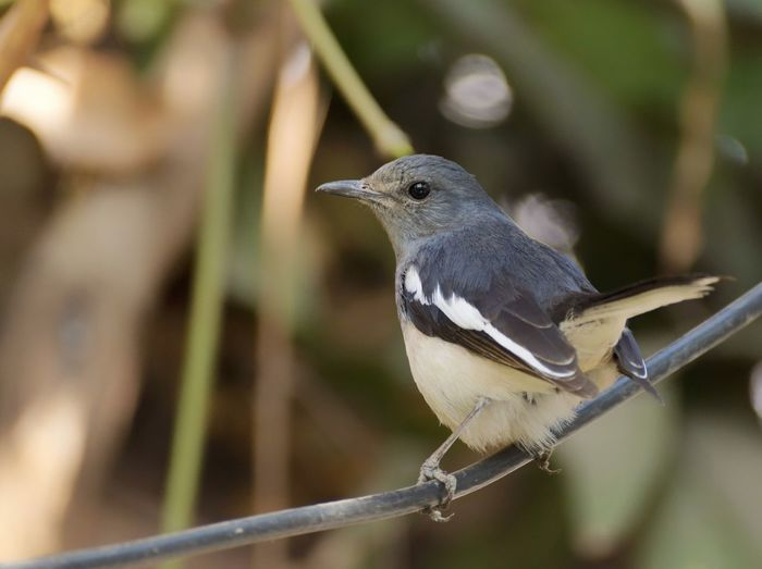 | Id : Oriental Magpie - Robin | Animal Themes Animal Wildlife Sony A68 Purnendu Clicks India