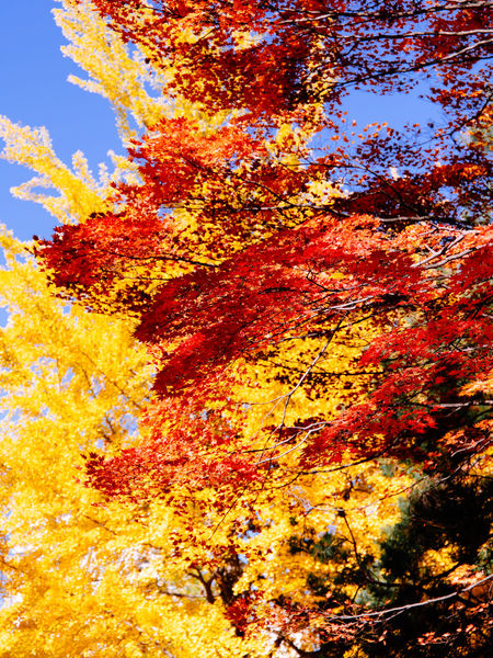 Autumn colors in Sapporo, Hokkaido, Japan Autumn Orange Color Multi Colored Leaf Yellow Beauty In Nature Plant Part Autumn🍁🍁🍁 Autumn Leaves Autumn Maple Leaves Ginkgo Blue Sky Artistic Photo Nature Japan Hokkaido Sapporo