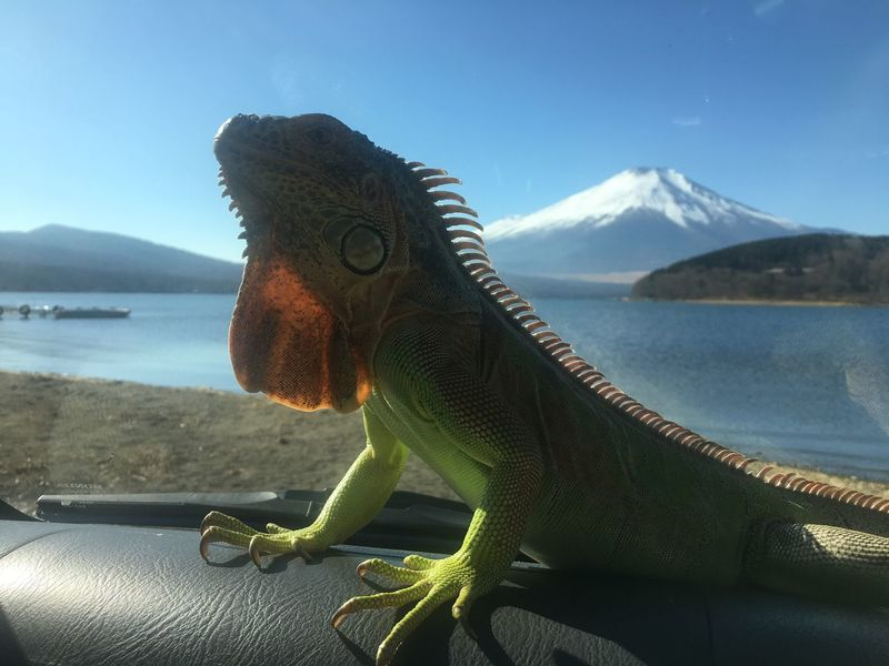 Mountain One Animal Day Reptile Lizard Nature No People Iguana Sky Sea Beauty In Nature Animals In The Wild Animal Themes Outdoors Animal Wildlife Water Scenics Mt.Fuji