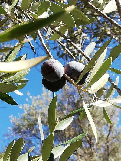 Olivs Olives Tree Branch Leaf Hanging Close-up Sky Plant Food And Drink