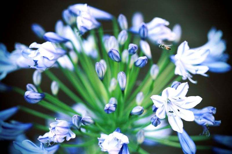 Agapanthus Flower Flowering Plant Flower Plant Vulnerability  Fragility Freshness Growth Beauty In Nature Flower Head Close-up Petal Focus On Foreground Nature No People Day Selective Focus Purple Outdoors