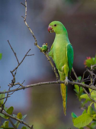 Parrot eating fruit on tree