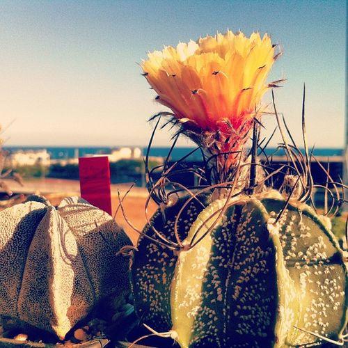 Astrophitum Astrophitum_coahuilense Cactus Cacti plants flower yellow sea ink361_mobile