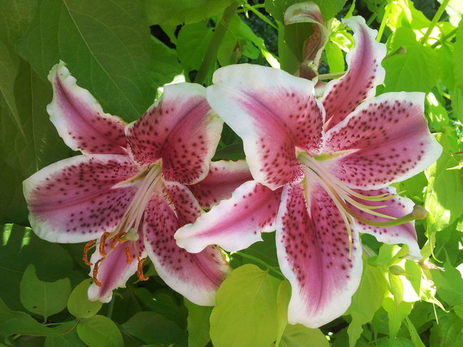 Lily Beauty In Nature Close-up Day Flower Flower Head Freshness Growth Leaf Nature No People Outdoors Petal Pink Color Plant Whie