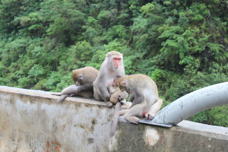 EyeEmNewHere Taiwan Macaque Animal Themes Animal Wildlife Animals In The Wild Macaca Macaca Cyclopis Mammal Monkey Nature No People Outdoors Sitting Togetherness Tree
