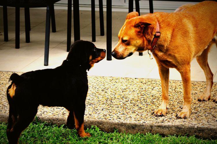 Dog Love Dogs Dog Of The Day Rottweiler Puppy Red Cattle Dog EyeEm Best Shots EyeEm Gallery
