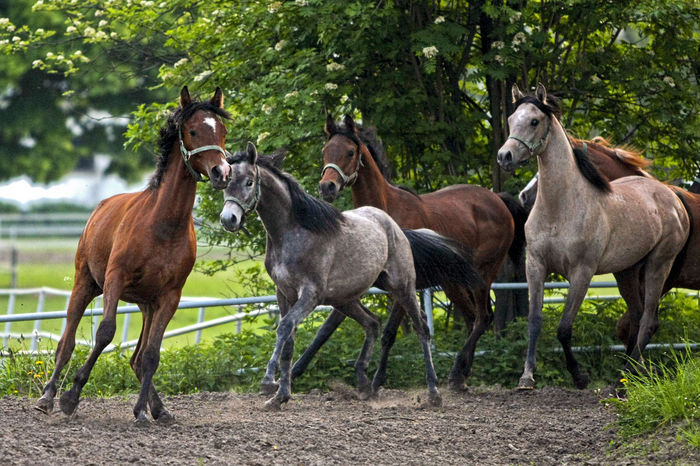 Animal Themes Animals In The Wild Arabian Horses Day Domestic Animals Gallop Galloping Herd Of Horses Horse Stud Horses Mammal Nature No People Outdoors Tree